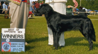 Our dogs - Acadia Flat-Coated Retrievers